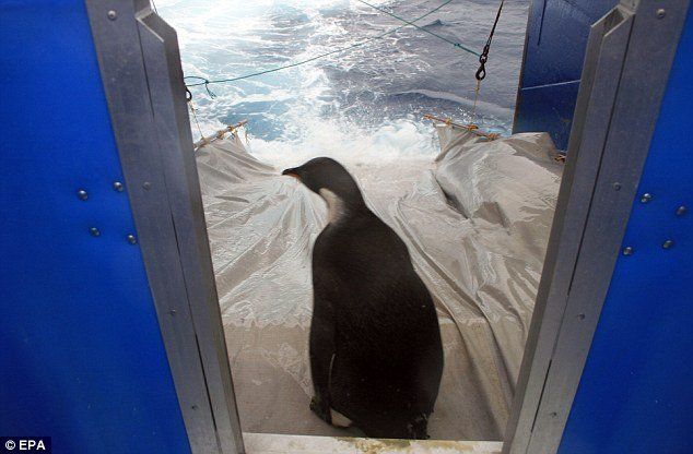 Happy Feet was placed on a tarpaulin slide running from the boat's ramp to be released in the sea