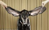 Harbor, the dog with the biggest ears in the world