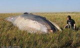 The 33feet (10 meters) whale was found beached 800 yards (730 meters) from the shoreline of the Humber Estuary, UK