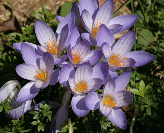 The miraculous drug is based on colchicine, an extract from the autumn crocus (Colchicum autumnale), known also as meadow saffran