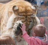 Photographer Dyrk Daniels captured the remarkable moments when a huge Bengal tiger bowed its head and placed a paw up to the hand of a small girl at Cougar Mountain Zoo in Issaquah, Washington