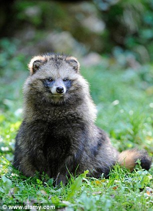 The raccoon dog is indigenous to Asia and related to dogs and foxes