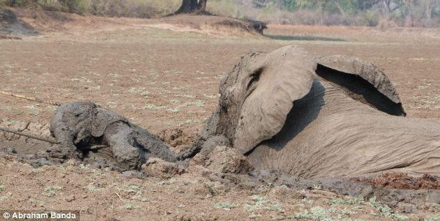 A baby elephant and its mother were rescued by conservation workers after they got stuck in the mud of Kapani Lagoon in Zambia