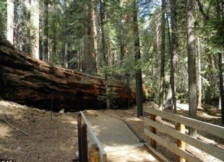 A pair of 1,500-year-old and 250 feet giant sequoias - whose branches are the size of normal trees - dramatically fell to the ground on September 30 in California
