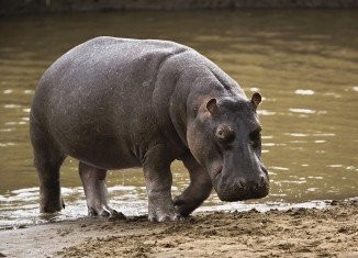"Marius Els, a South African farmer has been killed by his pet hippo he raised from the age of five months, and which he once described as being ""like a son"" to him"