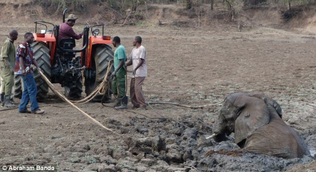 Once the baby elephant is freed, the team works to help the mother who has become tired after all the thrashing around
