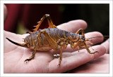 Giant weta, genus Deinacrida of the family Anostostomatidae, is the world's biggest insect in terms of weight