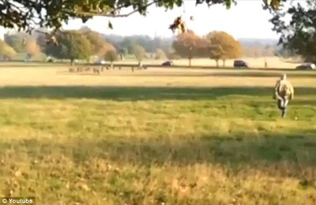 Max Findlay has been unmasked as being the dog walker who became an internet sensation when he was filmed running after his black Labrador Fenton as the dog chased after deer in Richmond Park, London