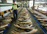 Wildlife trade group Traffic said there had been at least 13 large seizures of ivory in 2011, amounting to more than 23 tones, compared to 6 in 2010 of less than 10 tones