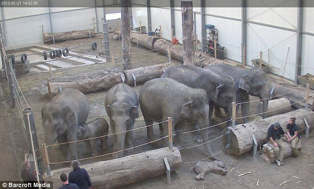 A heard of grieving elephants gathers round the lifeless body of Lola, a three-month-old calf, after she died of a heart defect