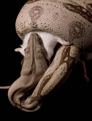 Scientists from Dickinson College, Pennsylvania, have found that boa constrictors halt squeezing a prey when their victim's heart stops