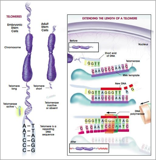 Telomeres are important because they stop DNA from unraveling, but they begin shortening from the moment we are conceived