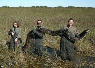 The National Park Service has counted 1,825 Burmese pythons that have been caught in and around Everglades National Park since 2000