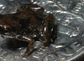 The world's smallest frog is pictured on a US dime, whose diameter is 18mm