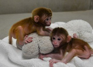 "Twins Roku and Hex are the world's first chimeric monkeys, who have been created with genetic material from six ""parents"" at Oregon Health and Science University"