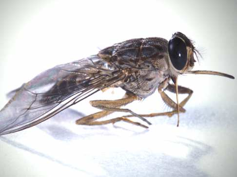Belgian researchers have found a way to beat sleeping sickness using a bacterium against the tsetse fly host that spreads the disease to humans