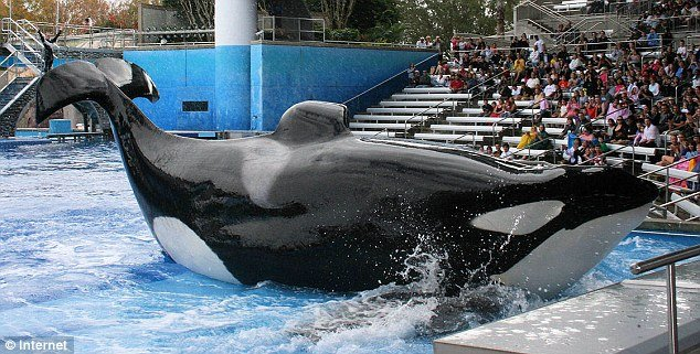 PETA says the killer whales are treated like slaves for being forced to live in tanks and perform daily at the SeaWorld parks in California and Florida