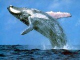 Sea researchers have found that noise from ships causes a high level of stress for whales nearby