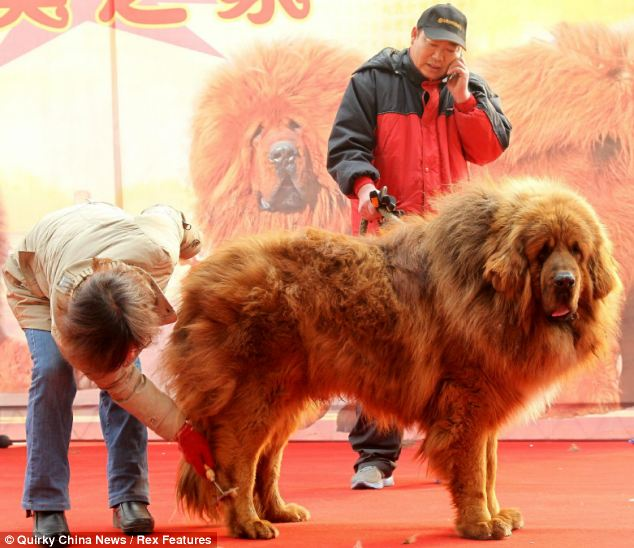 The Tibetan Mastiff Emperor went on sale this week for a staggering 10 million Yuan ($1.6 million)