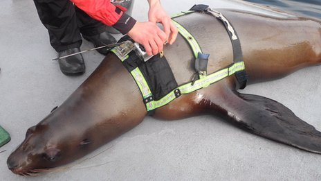 Trained Steller sea lions took part in a Canadian experiment designed to find out why the species is dying out
