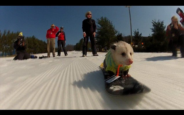Ratatouille is an opossum occasionally seen riding his little snowboard at the Liberty Ski Resort in Emmitsburg, Pennsylvania