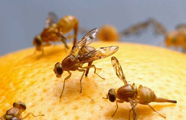 Scientists have discovered that male fruit flies that have been rejected by females drink significantly more alcohol than those that have mated freely
