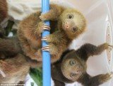 Sloths of Costa Rica are the new internet sensation, after appearing in a documentary by Lucy Cooke