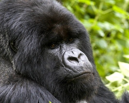 The last of the Great Apes genome has been sequenced after a British research team in Cambridge has deciphered the genetic code of the gorilla