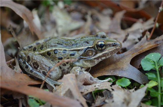 While new species are usually discovered in remote regions, this so-far unnamed type of leopard frog was first heard croaking on Staten Island