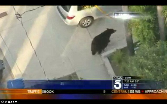 A TV helicopter crew in California managed to capture the image of a man who was using his mobile phone and walking into the path of a 500 lb black bear