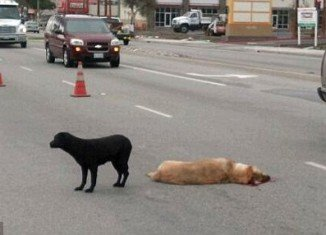Maggie was videotaped as she guarded the body of a yellow Lab hit and killed by a car in Los Angeles