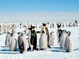 Scientists have discovered that nearly twice as many emperor penguins inhabit Antarctica as was previously thought