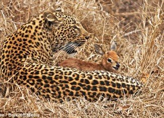 The apparently playful encounter between the leopard and the calf was captured by a safari guide in the Sabi Sand Game reserve