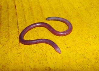 The creature, about 168 mm in length and pink in color, belongs to an enigmatic, limbless group of amphibians known as the caecilians