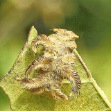 The venomous caterpillars use their spines to attack by projecting poison at potential enemies