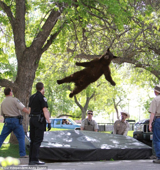 The wildlife officers tranquilized the bear while he was up in the branches and, after a short wait, the bear safely landed on his back