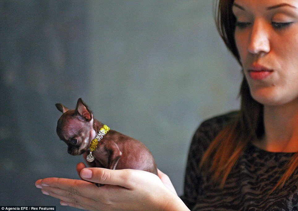 Tiny Puerto Rican chihuahua Milly is set to be recognized as the world's smallest dog photo