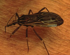 "Chagas disease, a little-known illness caused by blood sucking insects, has been labeled the ""new AIDS of the Americas"" by experts"