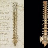 Leonardo da Vinci' spinal column drawing is thought to be the first accurate depiction in history