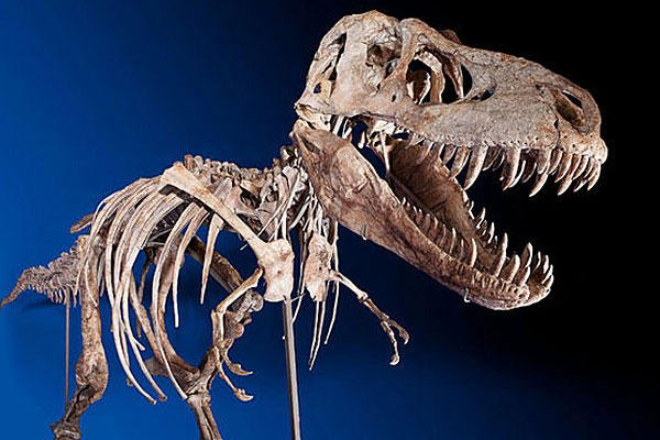 The rare Tyrannosaurus Bataar, 7-metre long (23 ft), was bought by an anonymous bidder for more than $1 million in New York