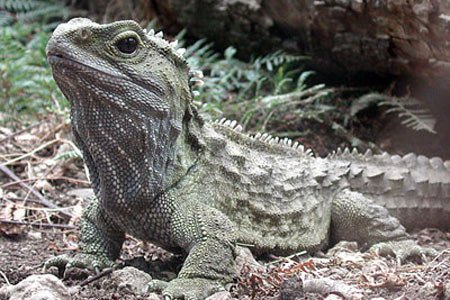 Tuatara a reptile living in New Zealand has a unique way of chewing its food say scientists who have studied its jaws in detail photo