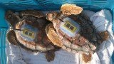 A Florida research team tracking the dispersal of hatchling loggerhead turtles has resorted to the nail salon to help fit tiny tags to the endangered creatures