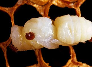 A team studying honeybees in Hawaii found that the Varroa mite helped spread a particularly nasty strain of a disease called deformed wing virus