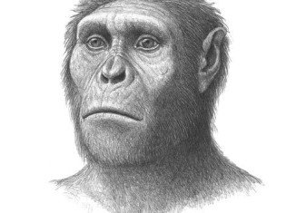 Australopithecus sediba, an early relative of humans, chewed on bark and leaves