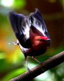 Dr. Kim Bostwick was the first to decode the mechanism behind the Manakin's unique sound, revealing a new kind of birdsong