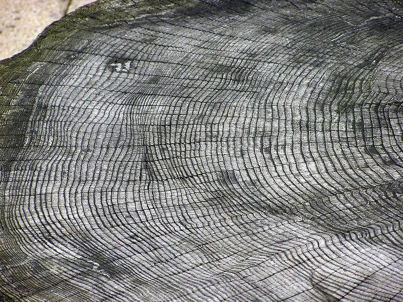 Fusa Miyake studied the growth rings of two trees dating back 1,200 years and discovered that an explosion of epic proportions occurred between 774 and 775AD