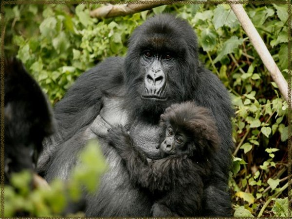 Gorillas have a wide repertoire of communication gestures so the team focused on facial expressions and hand signals used in play photo