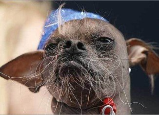 Mugly, an 8-year-old Chinese Crested, has won the rather unflattering title of Ugliest Dog in 2012