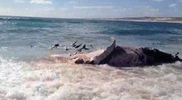 Rachel Campbell and her friends filmed an amazing scene with more than 100 tiger sharks furiously feeding over the carcass of a dead whale on the beach near Warroora Station
