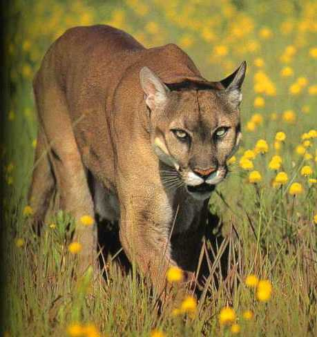 Scientists have announced that the American mountain lion or cougar is now re populating US Midwest photo